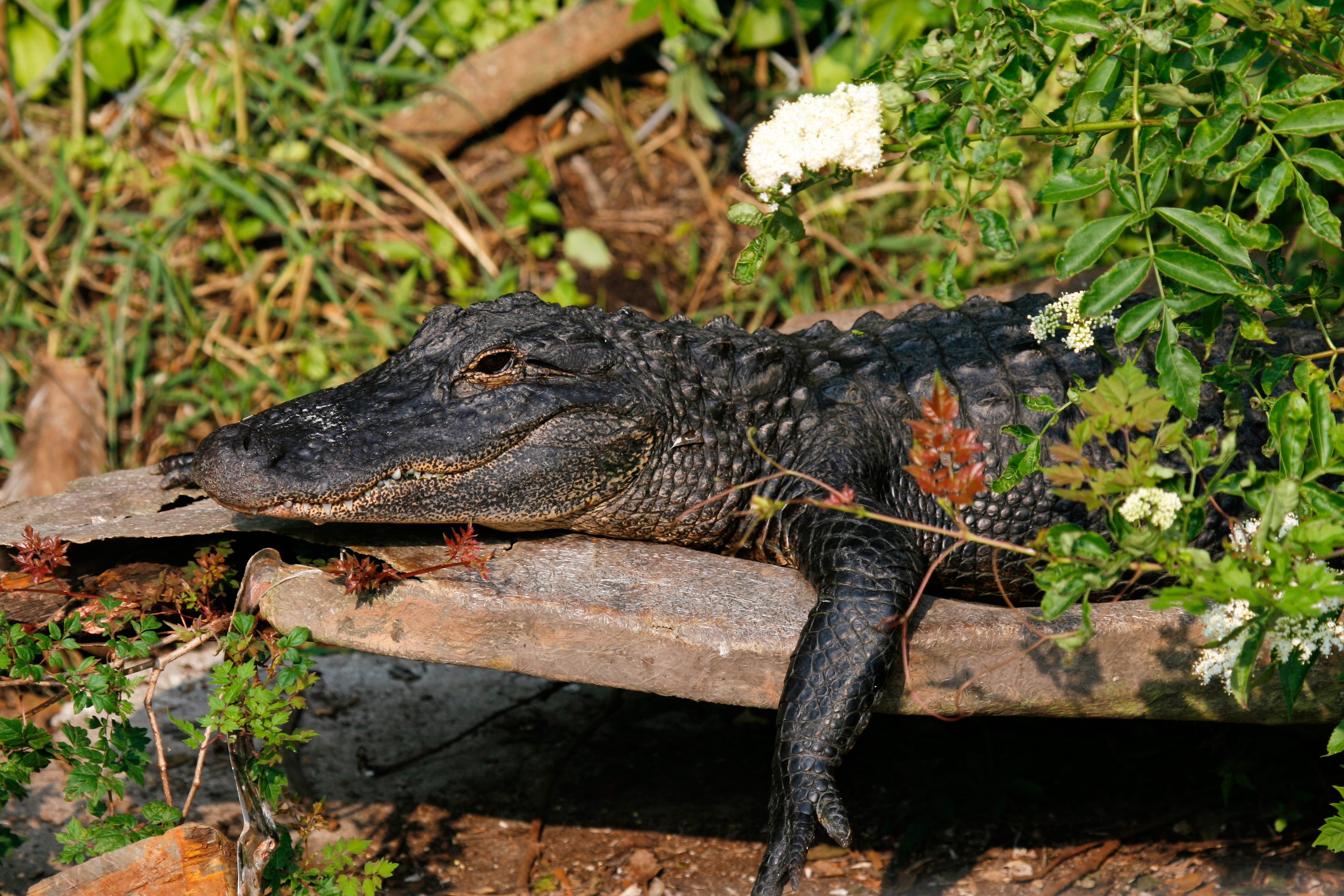 Florida Alligator resting on Log